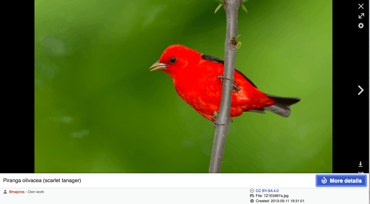 Scarlet tanager image on Wikipedia